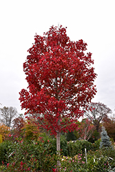 October Glory Red Maple (Acer rubrum 'October Glory') at Plants Unlimited