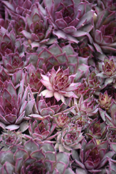 Red Beauty Hens And Chicks (Sempervivum 'Red Beauty') at Plants Unlimited