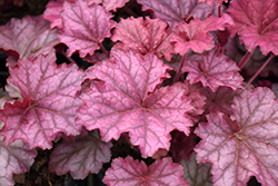 Berry Smoothie Coral Bells (Heuchera 'Berry Smoothie') at Plants Unlimited