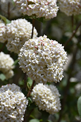 Burkwood Viburnum (Viburnum x burkwoodii) at Plants Unlimited