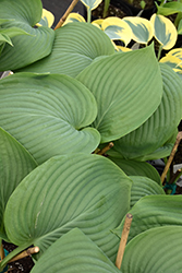 Empress Wu Hosta (Hosta 'Empress Wu') at Plants Unlimited