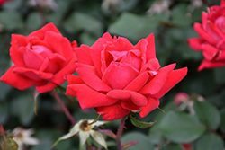 Double Knock Out® Rose (Rosa 'Radtko') at Plants Unlimited