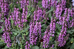 Bumbleberry Meadow Sage (Salvia nemorosa 'Bumbleberry') at Plants Unlimited