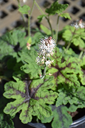 Fingerpaint Foamflower (Tiarella 'Fingerpaint') at Plants Unlimited