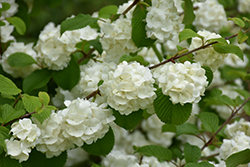 Popcorn Doublefile Viburnum (Viburnum plicatum 'Popcorn') at Plants Unlimited