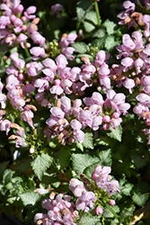 Pink Pewter Spotted Dead Nettle (Lamium maculatum 'Pink Pewter') at Plants Unlimited
