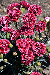 Fruit Punch® Cherry Vanilla Pinks (Dianthus 'Cherry Vanilla') at Plants Unlimited