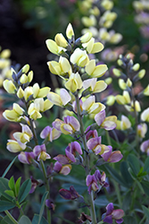 Decadence® Deluxe Pink Lemonade False Indigo (Baptisia 'Pink Lemonade') at Plants Unlimited