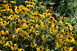 City Garden Coneflower (Rudbeckia fulgida 'City Garden') at Plants Unlimited