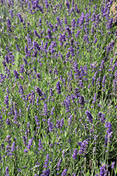Big Time Blue Lavender (Lavandula angustifolia 'Armtipp01') at Plants Unlimited