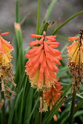Pyromania™ Backdraft Torchlily (Kniphofia 'Backdraft') at Plants Unlimited