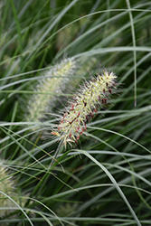 Little Bunny Dwarf Fountain Grass (Pennisetum alopecuroides 'Little Bunny') at Plants Unlimited