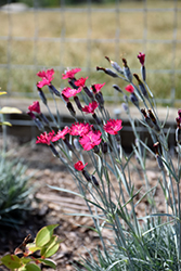 Wicked Witch Pinks (Dianthus gratianopolitanus 'Wicked Witch') at Plants Unlimited