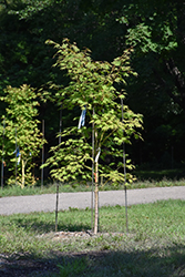 Jack Frost® Arctic Jade® Maple (Acer 'isIAJ') at Plants Unlimited