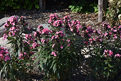 Coral Creme Drop™ Garden Phlox (Phlox paniculata 'Ditomdre') at Plants Unlimited