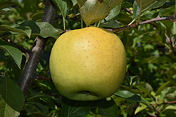 Yellow Transparent Apple (Malus 'Yellow Transparent') at Plants Unlimited