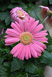 Pink Gerbera Daisy (Gerbera 'Pink') at Plants Unlimited