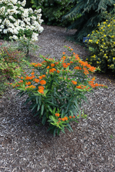 Gay Butterflies Butterfly Weed (Asclepias tuberosa 'Gay Butterflies') at Plants Unlimited