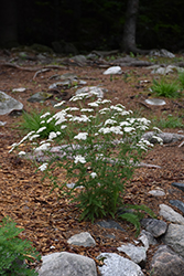 Common Yarrow (Achillea millefolium) at Plants Unlimited