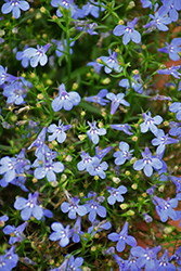 Laguna® Sky Blue Lobelia (Lobelia erinus 'Laguna Sky Blue') at Plants Unlimited