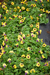 Catalina Gilded Grape Torenia (Torenia 'Catalina Gilded Grape') at Plants Unlimited