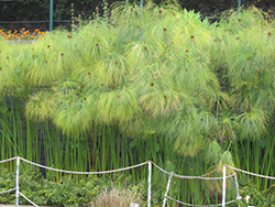 Papyrus (Cyperus papyrus) at Plants Unlimited
