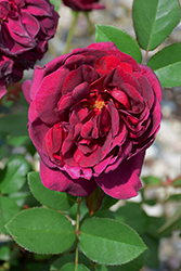 Darcey Bussell Rose (Rosa 'Darcey Bussell') at Plants Unlimited