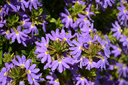 Whirlwind® Blue Fan Flower (Scaevola aemula 'Whirlwind Blue') at Plants Unlimited